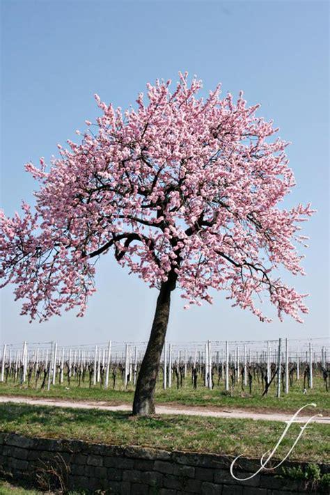 foto mandorlo in fiore festa dei mandorli in fiore foto e fornelli