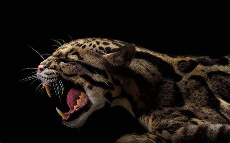 animals black jaguars wallpapers hd desktop  mobile