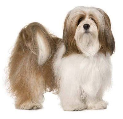 my lhasa apso is shedding hair all breeds images list types of dogs k9 research lab