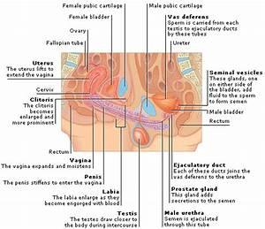 Medical Encyclopedia - Function  Sexual Intercourse