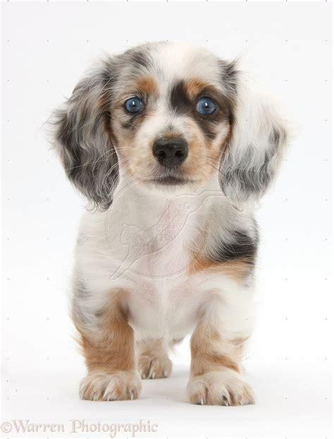 dachshund petsync
