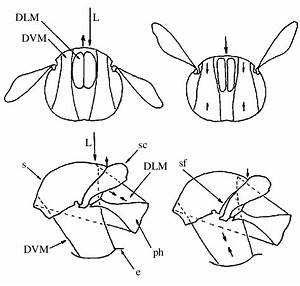 Mechanism Of Wing Movements By Indirect Flight Muscles