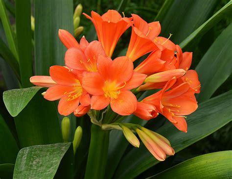 pianta fiori arancio clivia pianta da interno come prendersene cura
