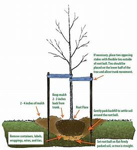 How To Plant And Care For A Tree