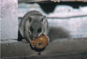 Unterschied Maus Ratte : ratten kot kot von m usen und ratten machten mann aus m ~ Lizthompson.info Haus und Dekorationen