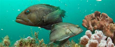 bass sea state skyway pier fishing florida grouper swimming found parks park styles marine