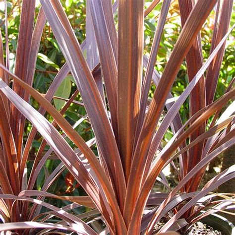 cordyline red star evergreen tree cabbage palm hardy
