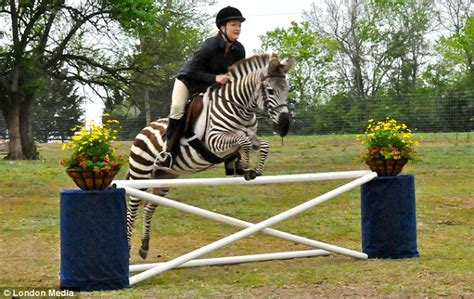 Zack the show jumping zebra: You may not believe your eyes ...