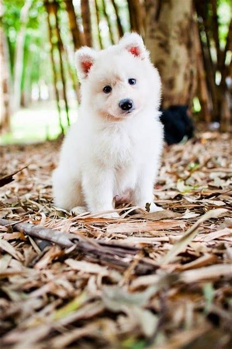 41 Best Images About My White Spitz On Pinterest German
