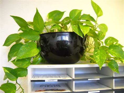 desk plants that don t need sunlight pothos plant care bob 39 s market and greenhouses