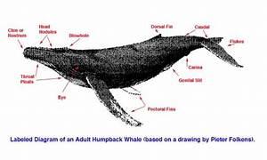 Adult Humpback Whale Anatomy Diagram