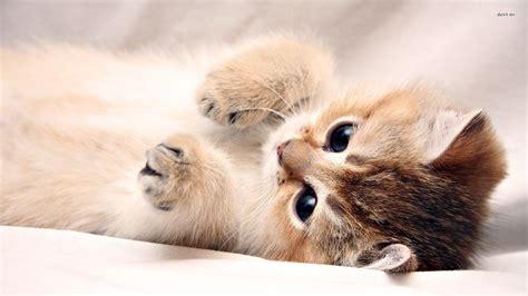 Kitten Backgrounds by Kitten Wallpaper 1280x800 Best Hd Desktop