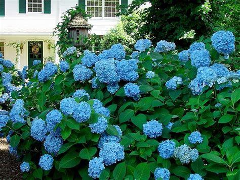 hydrangea bushes my virtual garden hydrangeas