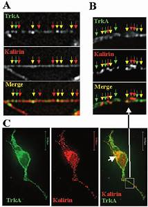 Kalirin Colocalizes With Trka In Neurons   A
