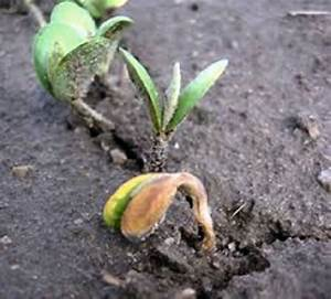 """Damping-off caused by Pythium (Courtesy: """" Martin Chilvers ..."""