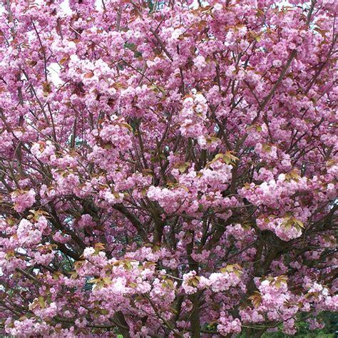 ornamental cherry tree varieties ornamental cherry the good earth garden center