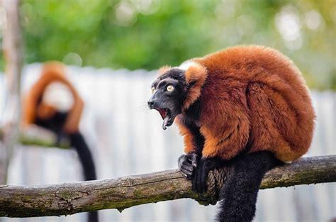 roter vari tierwelt madagaskar kostenloses foto auf pixabay