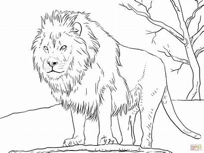 Coloring Lion Pages African Male Main Printable