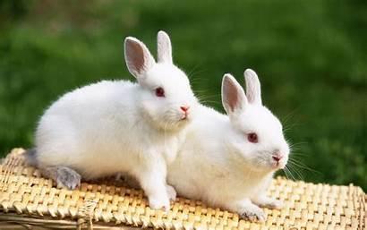 Rabbit Rabbits Bunnies Cool Wallpapers Pet Nature