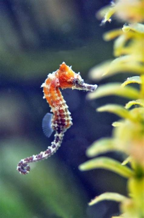 240 Best Images About Cute Seahorses On Pinterest Red