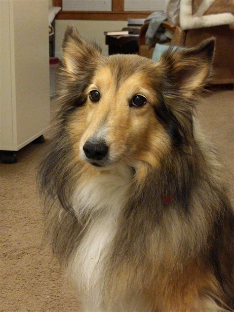 mollys web page kansas city sheltie rescue