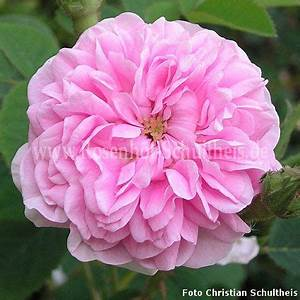 Rosen Düngen Im Frühjahr : petite lisette rosen online kaufen im rosenhof schultheis rosen online kaufen im rosenhof ~ Orissabook.com Haus und Dekorationen
