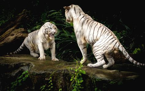 facts  white tigers  interesting facts