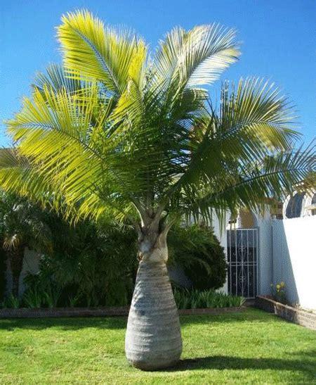 Bottle Palm Trees For Sale  Fastgrowingtreescom