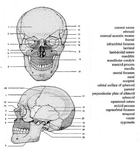 human skull diagram unlabeled