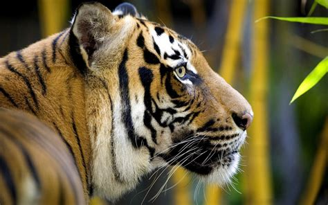 tiger full hd wallpapers tiger wallpapers tiger hd