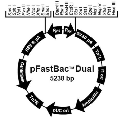 feasibility    dualpromoter recombinant