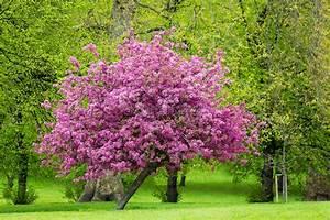 Rosa Blüten Baum : bl hender rosa baum lizenzfreies bild 10119499 bildagentur panthermedia ~ Yasmunasinghe.com Haus und Dekorationen