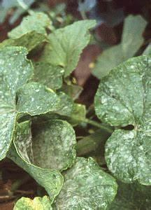 Mehltau An Gurken : echter mehltau falscher mehltau mehltaukrankheiten an pflanzen was tun ~ Frokenaadalensverden.com Haus und Dekorationen