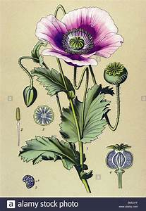 Opium Poppy Plant Drawing | www.imgkid.com - The Image Kid ...
