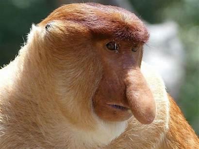 Monkey Proboscis Facts Site