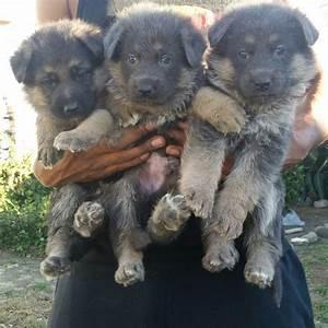 Blue And Tan German Shepherd Puppies | www.pixshark.com ...