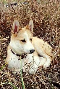 1000+ images about West Siberian Laika on Pinterest | Dogs ...
