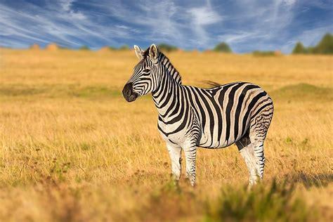 zebra zebras stripes plains types many there habitat grassland why africano african zimbabwe equus quagga worldatlas american