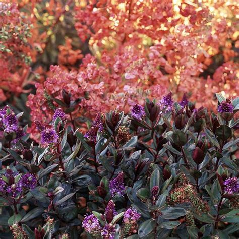 colorful bushes and shrubs colorful shrubs for your garden
