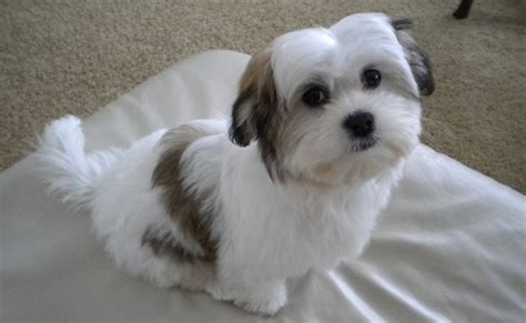 Small Dog Breeds That Dont Shed Newhairstylesformen Com