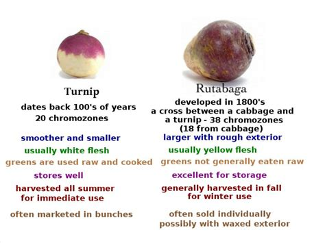 rutabaga vs turnip turnip rutabaga