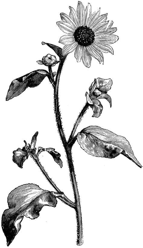 flowering branch   sunflower helianthus argophyllus