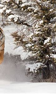 Tiger | Animal Planet