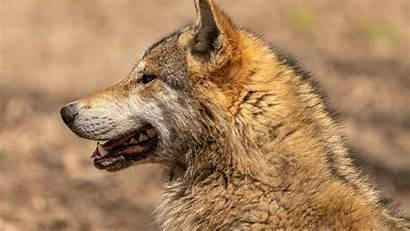 Wolf Animal 8k 4k Portrait Mouth Ultra