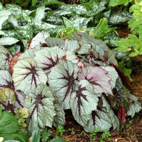 Garden Blush Begonia by Begonia T Rex Blush Terra 174 Nurseries Inc