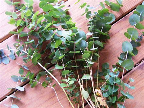 growing eucalyptus indoors how to grow eucalyptus gardening jones