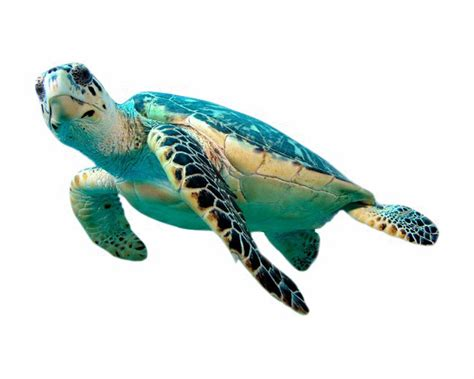 Turtle Png Transparent Images, Pictures, Photos  Png Arts