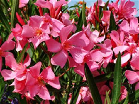 oleander ähnliche pflanzen oleander pflege schneiden vermehren und 220 berwintern