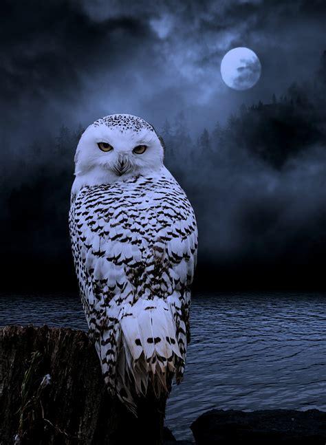 beautiful owl photo hiboux au clair de lune photos