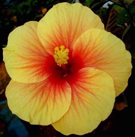 hibiscus flower hibiscus